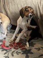 Beagle Puppies for sale in Atlanta, GA 30301, USA. price: NA