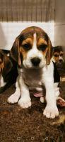 Beagle Puppies for sale in Michigan - Martin, Detroit, MI 48210, USA. price: NA