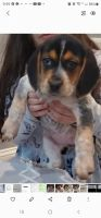 Beagle Puppies for sale in Silver Spring, MD, USA. price: NA