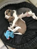 Beagle Puppies for sale in Craig, CO 81625, USA. price: NA