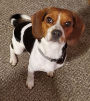 Beagle Puppies for sale in Toledo, OH, USA. price: NA