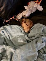Beagle Puppies for sale in Miami, FL, USA. price: NA