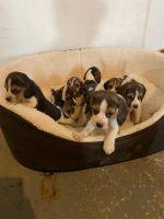 Beagle Puppies for sale in Camarillo, CA, USA. price: NA