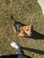 Beagle Puppies for sale in 20 Birch River Crossing, Dallas, GA 30132, USA. price: NA