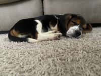 Beagle Puppies for sale in Antioch, TN 37013, USA. price: NA