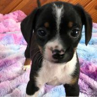 Beagle Puppies for sale in Chattanooga, TN, USA. price: NA
