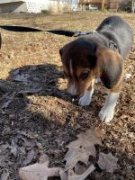 Beagle Puppies for sale in Berlin, CT 06037, USA. price: NA
