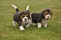 Beagle Puppies for sale in 7484 Holworthy Way, Sacramento, CA 95842, USA. price: NA
