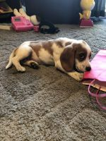 Beagle Puppies for sale in Sterling Heights, MI 48312, USA. price: NA