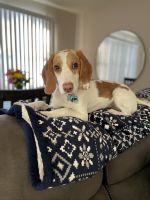 Beagle Puppies for sale in Elgin, IL 60123, USA. price: NA