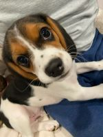 Beagle Puppies for sale in Detroit, MI, USA. price: NA