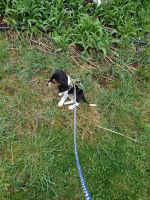 Beagle Puppies for sale in 1088 Vroom Rd, Spencerport, NY 14559, USA. price: NA