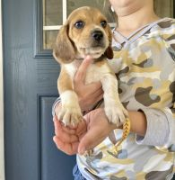 Beagle Puppies for sale in College Station, TX, USA. price: NA
