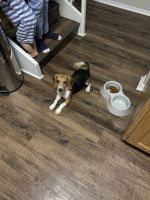 Beagle Puppies for sale in Coral Springs, FL, USA. price: NA