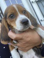 Beagle Puppies for sale in Orlando, FL, USA. price: NA