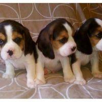 Beagle Puppies for sale in Denver, Irvine, CA 92604, USA. price: NA