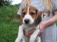 Beagle Puppies for sale in Greenfield, IN 46140, USA. price: NA