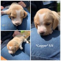 Beagle Puppies for sale in Stafford County, VA, USA. price: NA