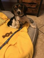 Beagle Puppies for sale in Midlothian, IL 60445, USA. price: NA