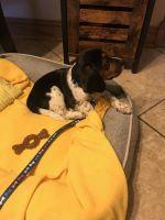 Beagle Puppies Photos
