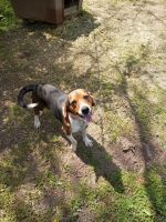 Beagle Puppies for sale in Edgerton, OH 43517, USA. price: NA