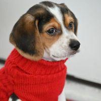 Beagle Puppies for sale in Aurora, IL 60503, USA. price: NA