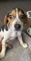 Beagle Puppies for sale in Buford, GA, USA. price: NA