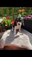 Beagle Puppies for sale in Bloomingburg, NY 12721, USA. price: NA