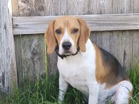 Beagle Puppies for sale in Baytown, TX, USA. price: NA