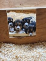 Beagle Puppies for sale in Foster, RI 02825, USA. price: NA