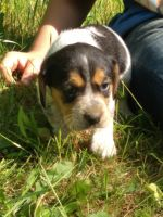 Beagle Puppies for sale in Brevard, NC 28712, USA. price: NA