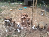 Beagle Puppies for sale in Keysville, VA 23947, USA. price: NA