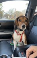 Beagle Puppies for sale in Houston, TX, USA. price: NA