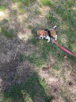 Beagle Puppies for sale in Chesapeake, VA, USA. price: NA
