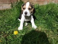 Beagle Puppies for sale in Baton Rouge, LA, USA. price: NA