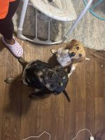 Beagle Puppies for sale in Clarksville, TN, USA. price: NA