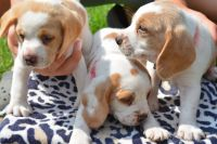 Beagle Puppies for sale in China Springs, Spring, TX 77373, USA. price: NA