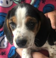 Beagle Puppies for sale in Laurel Springs, NJ 08021, USA. price: NA