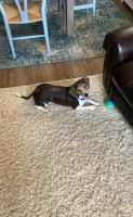 Beagle Puppies for sale in Surprise, AZ, USA. price: NA