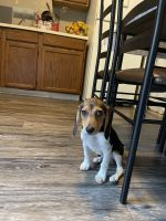 Beagle Puppies for sale in Dayton, OH, USA. price: NA