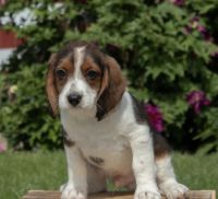 Beagle Puppies for sale in Wilkes-Barre, PA, USA. price: NA