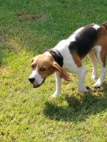 Beagle Puppies for sale in 147 Sumner Lakes Rd, Sumner, GA 31789, USA. price: NA
