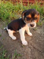 Beagle Puppies for sale in Nelson, MO, USA. price: NA