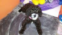 Beagle Puppies for sale in Sunbury, PA 17801, USA. price: NA