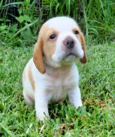 Beagle Puppies for sale in Fort Meade, FL, USA. price: NA