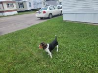 Beagle Puppies for sale in South Bend, IN, USA. price: NA