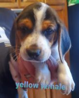 Beagle Puppies for sale in Louisburg, NC 27549, USA. price: NA
