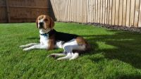 beagle harrier dog