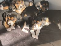 Beaglier Puppies for sale in Mansfield, MA 02048, USA. price: NA