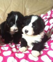 Bearded Collie Puppies for sale in Kansas City, KS, USA. price: NA
